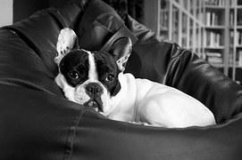 Franse bulldog alleen leren blijven