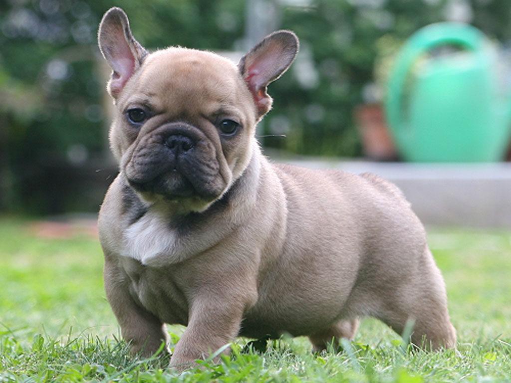 Hoe Kan Mijn Franse Bulldog Het Bijten Afleren Tips Adviezen