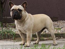 Franse bulldog gestroomd - Fawn