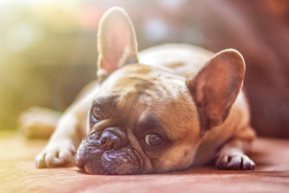 Voor en nadelen Franse bulldog
