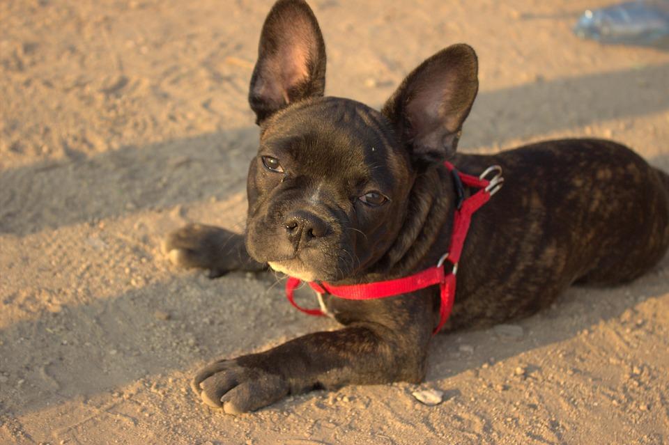 Tips Voor Het Trainen Van Je Franse bulldog