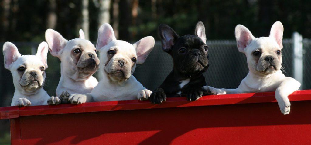 Franse bulldog aanschaf