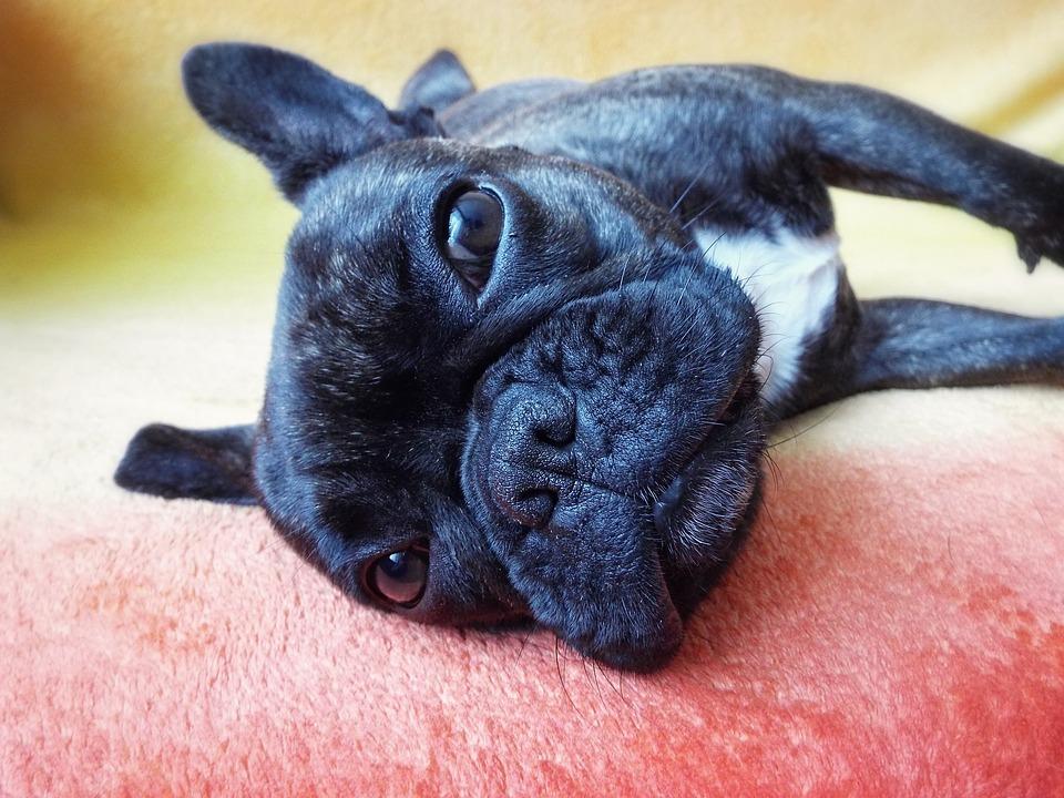 Is Je Franse Bulldog Verkouden Zo Behandel Je De Verkoudheid